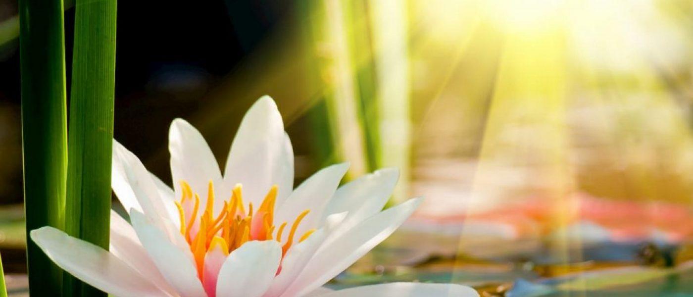 Le Lotus : une fleur de symboles